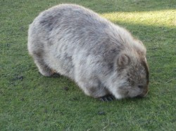 A wombat on Maria Island